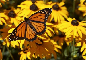 butterfly_yellow-flowers_01